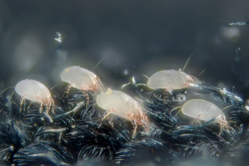 House dust mites (Dermatophagoides pteronyssinus)