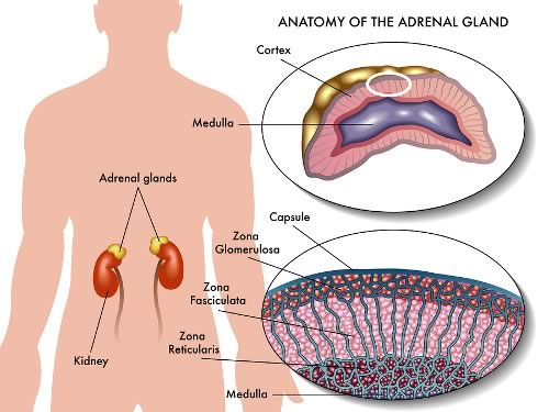 Anatomy of Adrenal Gland